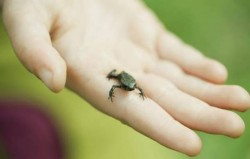 Mini žaba koja čuje pomoću usta