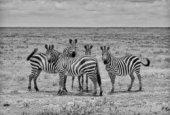 Napokon otkriven razlog postojanja zebrinih pruga!