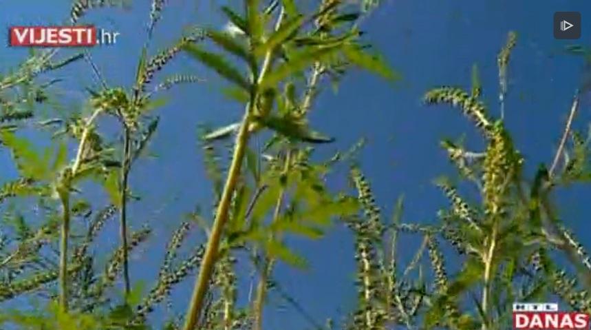 Stiže sezona alergija na ambroziju. Postoji aplikacija koja pomaže u iskorjenjivanju te biljke
